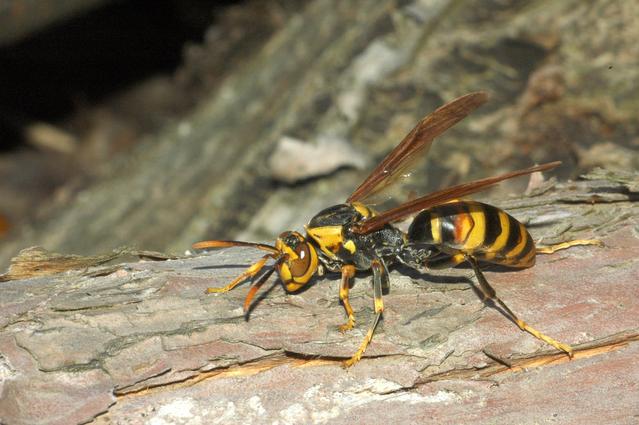 アシナガバチの画像 p1_20